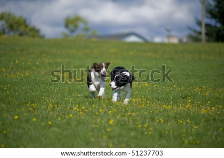 Two springer spaniel puppies run towards the camera in a field of green grass and yellow daisies.