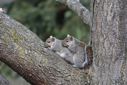 Two squirrels cuddle together on a tree branch.