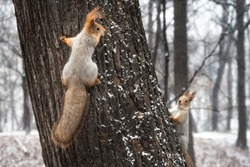 Two squirrels playing on tree trunk in winter forest