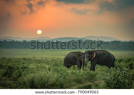 Two Sri Lankan wild elephant partners affectionately playing in a grass field under an orange sky sunset