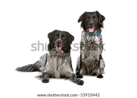 two Stabyhoun dogs isolated on a white background