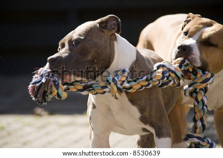 two staffordshire terriers playing with some rope - stock photo
