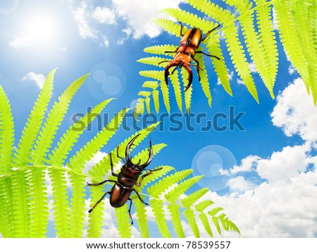 Two stag beetles (Lucanus cervus) climbing on fern leaf