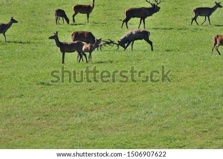 Two stags fighting with antlers in pairing season  #1506907622