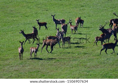 Two stags fighting with antlers in pairing season  #1506907634