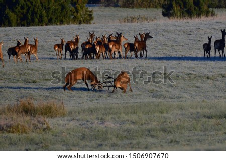 Two stags fighting with antlers in pairing season  #1506907670