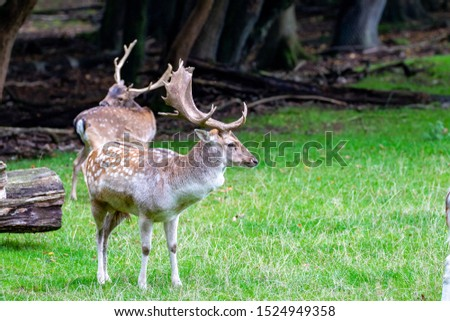Two stags of fellow deer on green grass in autumn with big antlers #1524949358