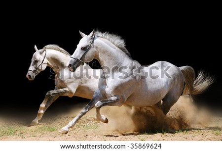two stallions in dust