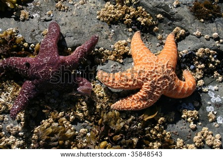 Two starfish exposed by the outgoing tide at Sitka, Alaska - stock photo