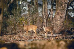Two startled deer looking at the camera in the woods in late fall sunny