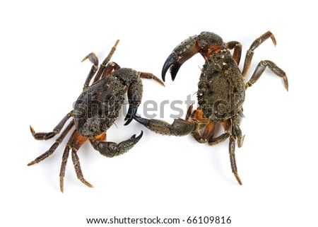 Two stone crab (Eriphia verrucosa). Isolated on white background.