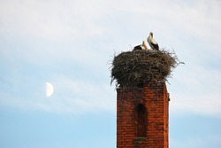 Two storks are cleaning their feathers. A nest on an old chimney. In the background the moon in the evening sky