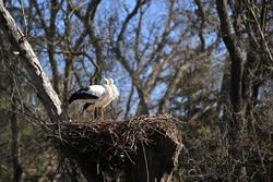 Two storks on the nest in the edge of forest