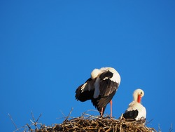 two storks pinning their black and white feathers after a good night's rest in their nest, lerida, spain, europe