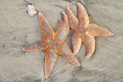 Two stranded dead Common Starfish, laying on a sandy beach