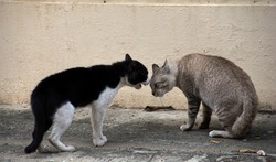 Two stray cats threatening and biting each other loudly.