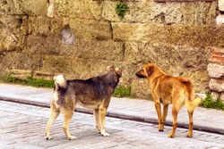 Two stray dogs near the brick wall at historic region of Istanbul