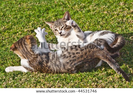 Two striped cats playing on the summer grass