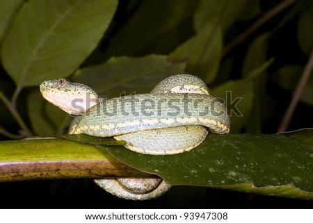 Two-striped forest pitviper (Bothriopsis bilineata) resting in the rainforest understory, Ecuador