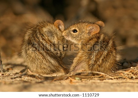 Two striped grass mice (Rhabdomys pumilio) in desert environment