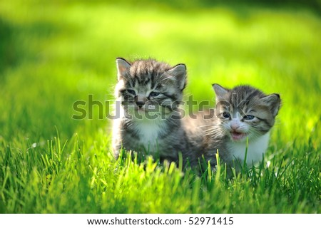 Two striped kittens sitting in the grass