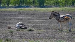 Two striped plains zebras (equus quagga, formerly equus burchellii, also common zebra) resting in midday heat, one of them lying on the ground, in Kalahari desert, Etosha National Park, Namibia.