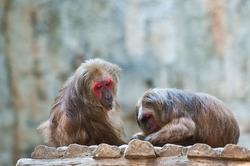 Two Stump-tailed Macaque (Macaca arctoides)