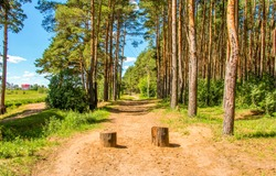 Two stumps on forest path. Pine tree forest path stumps. Stumps on forest path