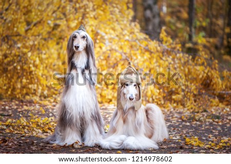 Two stylish Afghan hounds, dogs, in a military cap and field cap against the background of the autumn forest. Host protection concept, dog protector #1214978602