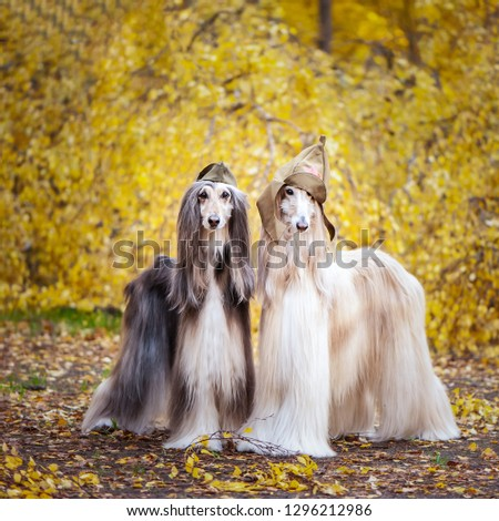 Two stylish Afghan hounds, dogs, in a military cap and field cap against the background of the autumn forest. Host protection concept, dog protector #1296212986