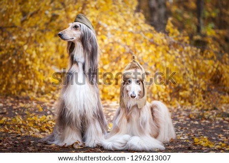 Two stylish Afghan hounds, dogs, in a military cap and field cap against the background of the autumn forest. Host protection concept, dog protector #1296213007