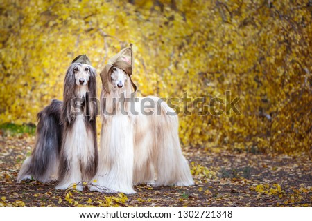 Two stylish Afghan hounds, dogs, in a military cap and field cap against the background of the autumn forest. Host protection concept, dog protector, February 23 #1302721348