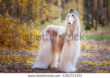 Two stylish Afghan hounds, dogs, in a military cap and field cap against the background of the autumn forest. Host protection concept, dog protector, February 23 #1302721351