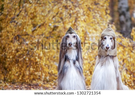 Two stylish Afghan hounds, dogs, in a military cap and field cap against the background of the autumn forest. Host protection concept, dog protector, February 23 #1302721354