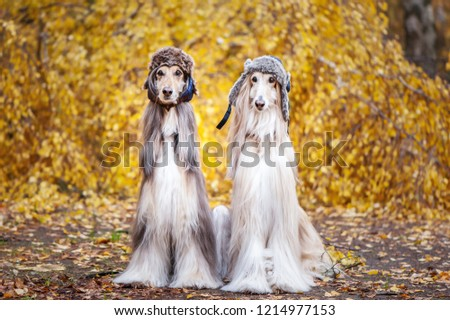 Two stylish Afghan hounds, dogs, in funny fur hats on the background of the autumn forest. Concept clothes for animals, fashion for dogs #1214977153