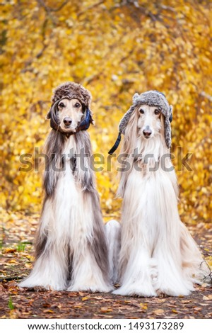 Two stylish Afghan hounds, dogs, in funny fur hats on the background of the autumn forest. Concept clothes for animals, fashion for dogs #1493173289
