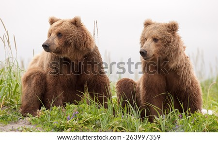 Two sub adult brown bears looking in the same direction, to the left, in tandem #263997359