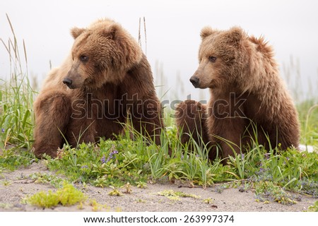 Two sub adult brown bears looking in the same direction, to the left, in tandem