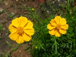 Two Sulfur Cosmos or Yellow Cosmos flowers (Cosmos sulphureus), also known as Bunga Kenikir in Indonesian