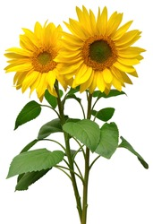 Two sunflowers in bouquet isolated on white background. Sun symbol. Flowers yellow, agriculture. Seeds and oil. Flat lay, top view