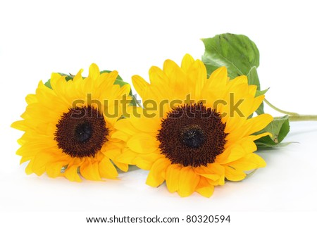 two sunflowers on a white background