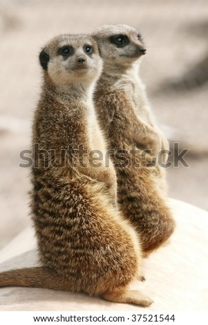 Two suricates on the alert watching for predators