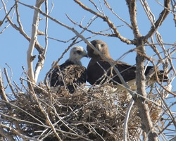 Two Swainson's Hawks (adult and juvenile) sitting on their nest