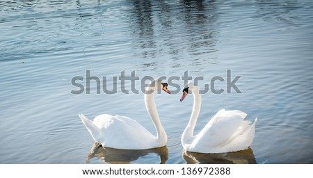 two swan in love forming