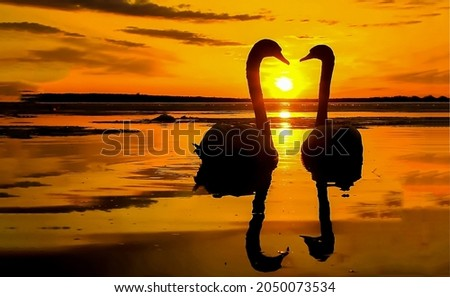 Two swans at sunset scene. Swans at sunset. Two swans at sunset. Sunset swan silhouettes