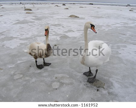 Two swans-healthy and unhealthy covered with oil