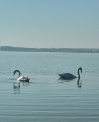 Two swans in a lake seeking for food