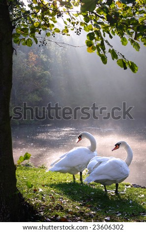 Two swans in beautiful landscape lake and sunbeam