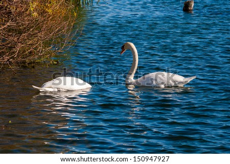 Two Swans in blue water looking for food