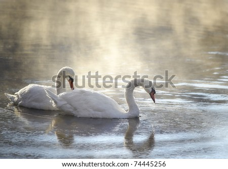 two swans in fogy morning